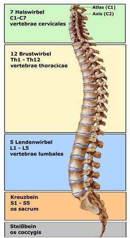 Aufbau der Halswirbelsäule
